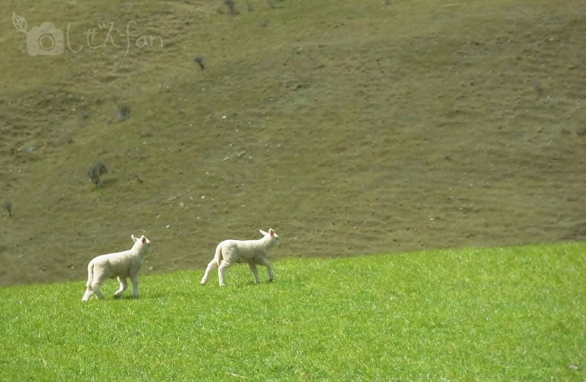 ニュージーランドの牧場を駆けまわる子羊たち