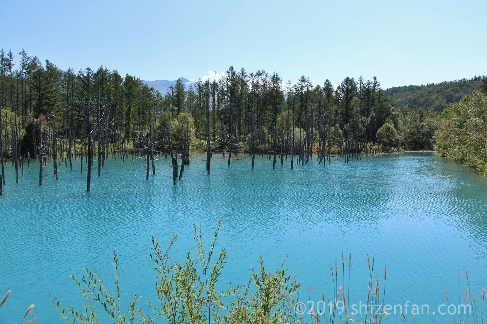 晴れた日の美瑛の青い池、背景にうっすら十勝岳と噴煙、やや斜めアングル