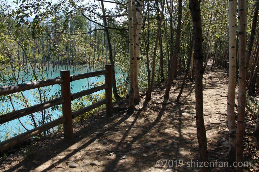 晴れた日の美瑛の青い池遊歩道の様子