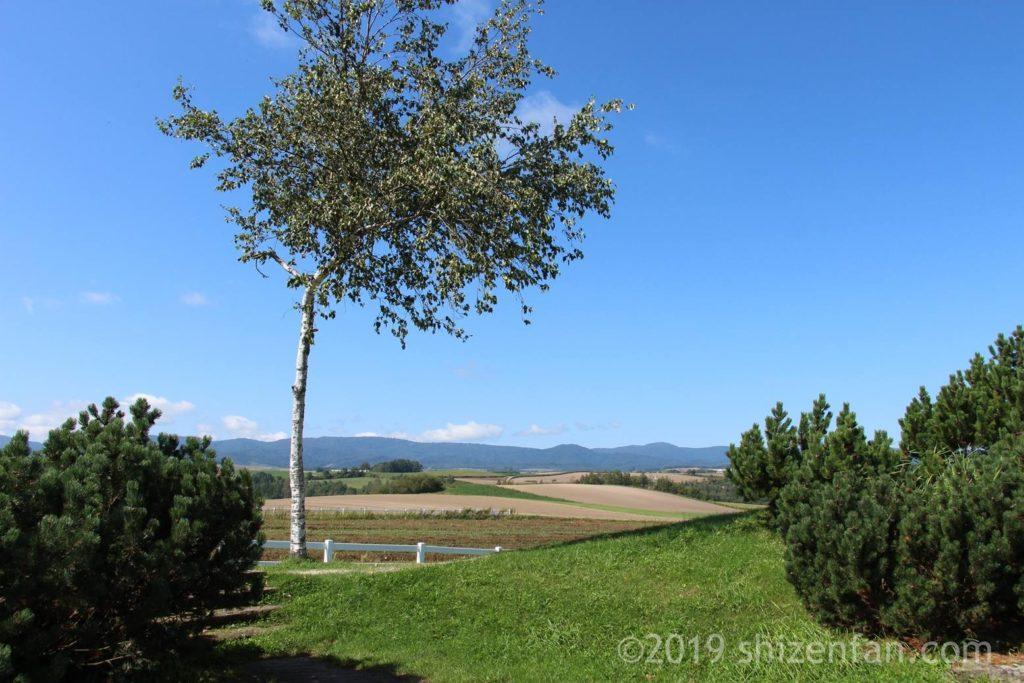 美瑛の新栄の丘公園に立つ細い木、丘バック