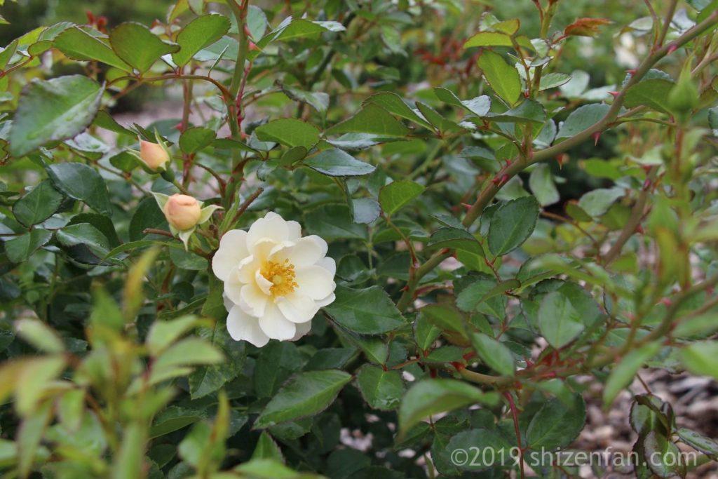 羽幌バラ園の白いバラ