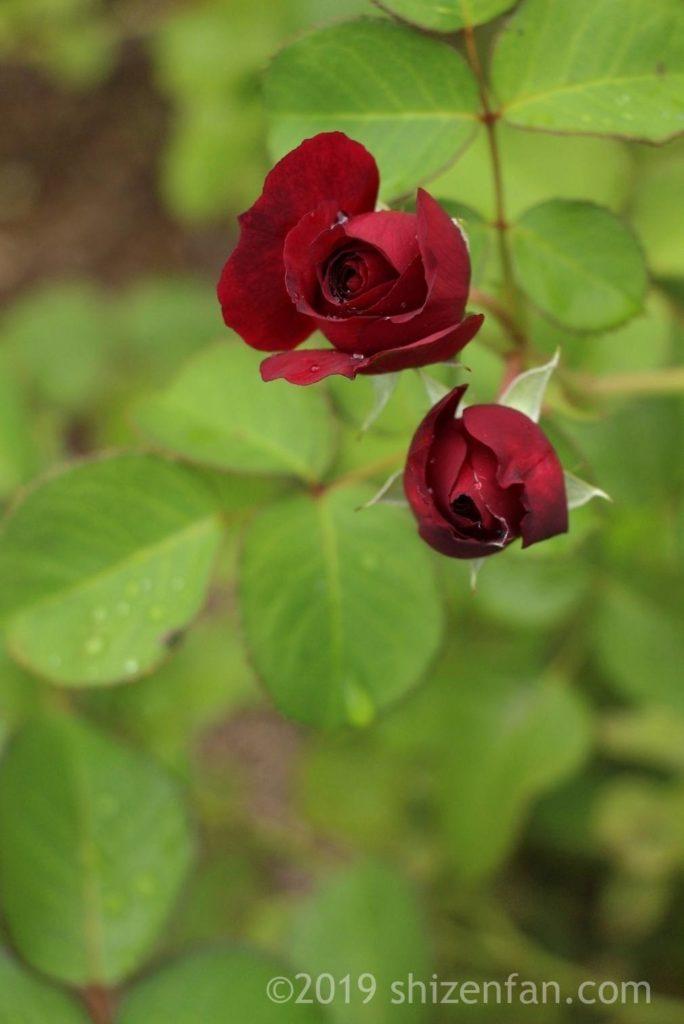 羽幌バラ園の真紅のバラの蕾