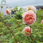 羽幌バラ園のピンクのバラ