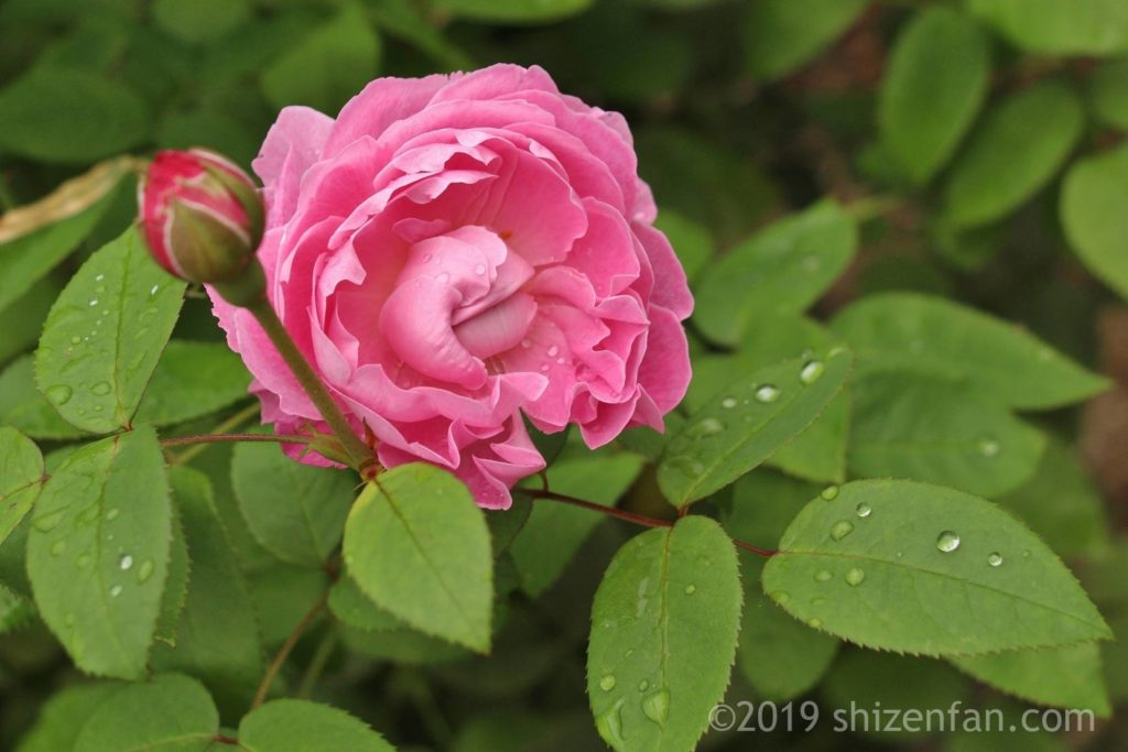 雨上がりの羽幌バラ園、濃いピンクのバラのクローズアップ