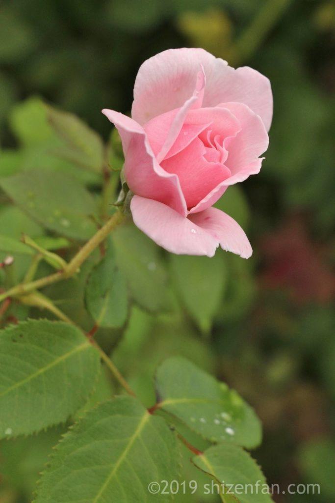 羽幌バラ園、咲きかけのピンクのバラのクローズアップ