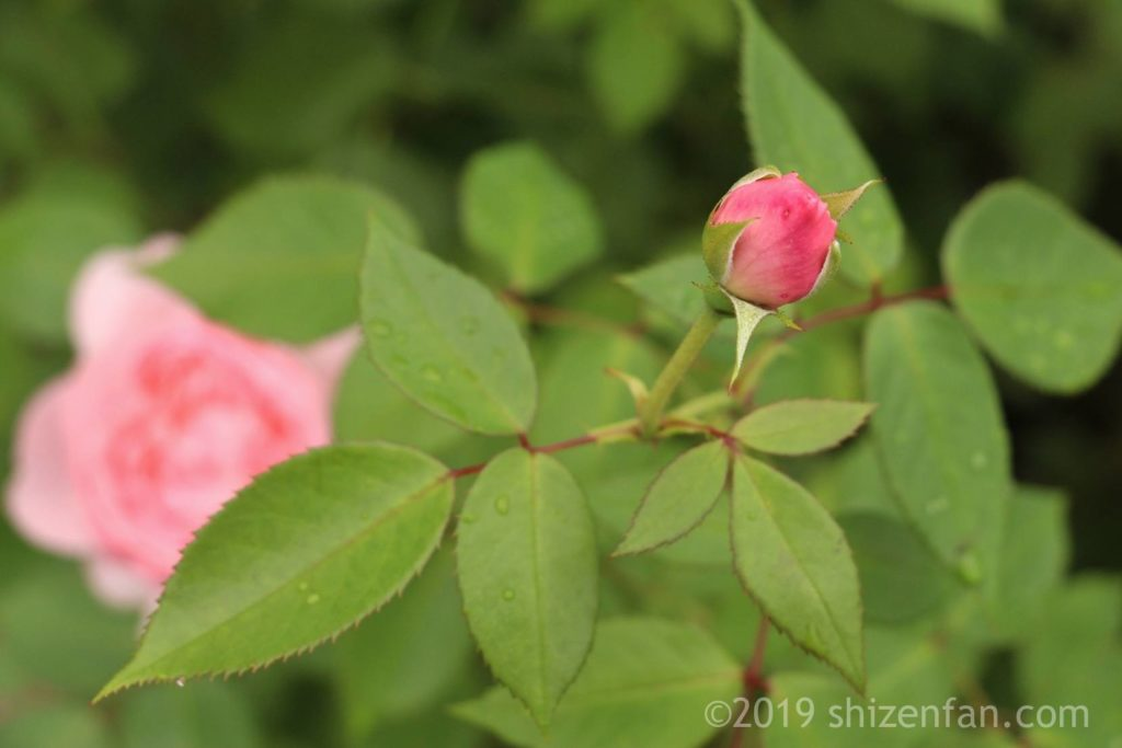 羽幌バラ園のピンクのバラの蕾