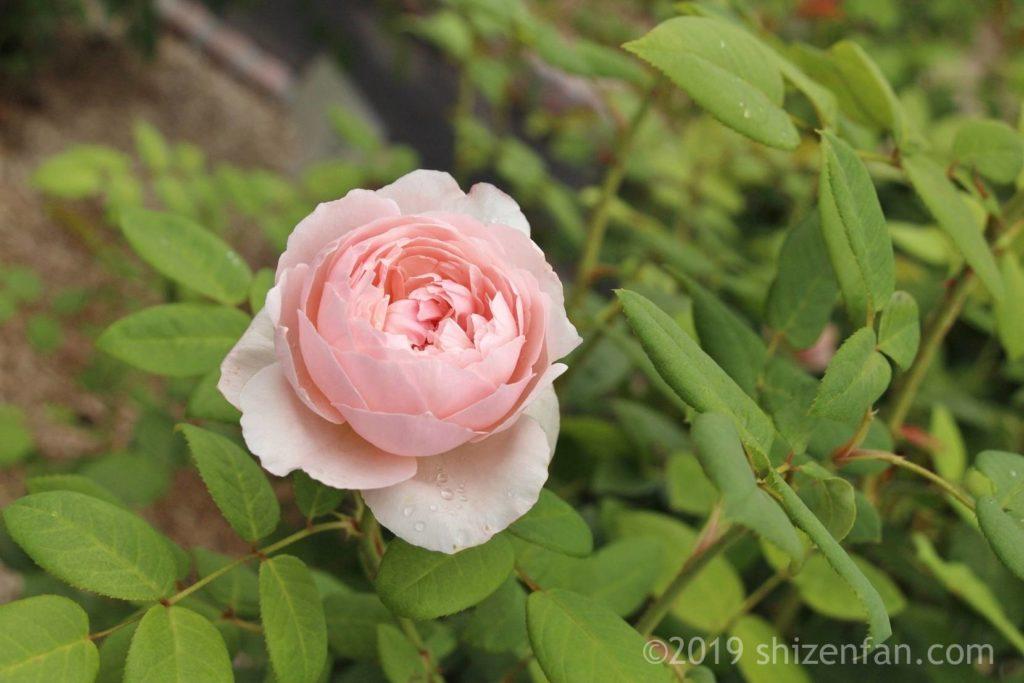 羽幌バラ園のうすピンクのバラのクローズアップ