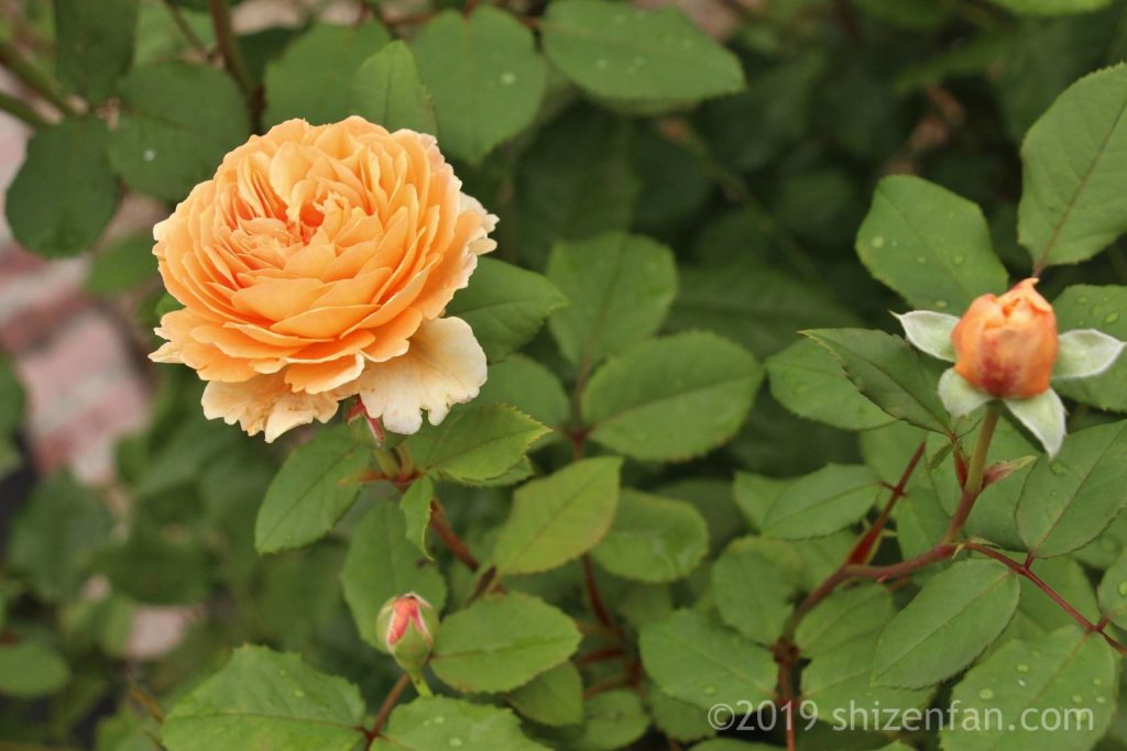 羽幌バラ園の黄色のバラ