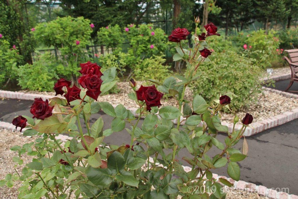 羽幌バラ園の真紅のバラの株、背景に通路