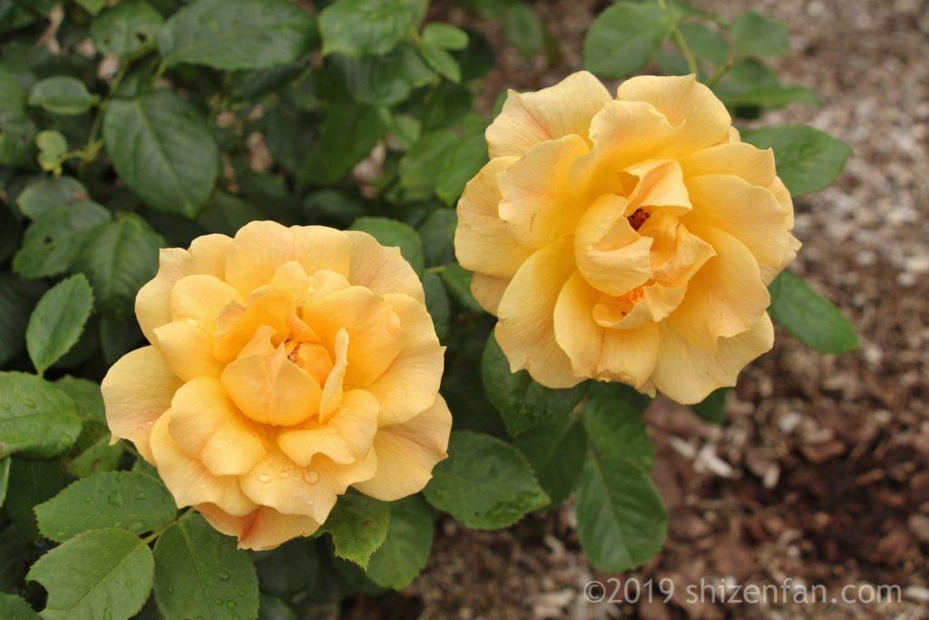 羽幌バラ園の黄色いバラのクローズアップ