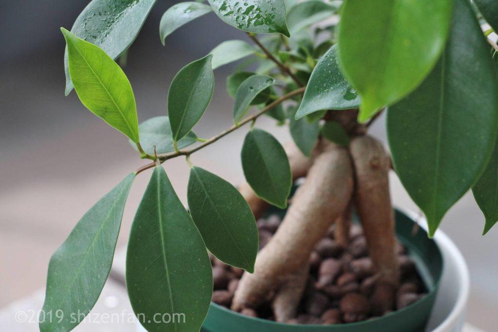 夏に生長中のガジュマルの葉のクローズアップ、ハイドロカルチャー
