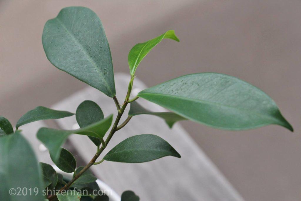 夏に生長中のガジュマルの葉のクローズアップ