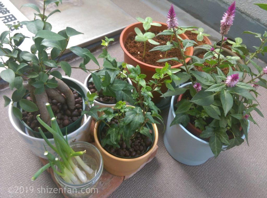 ベランダの植物たち(アイビー、ケイトウ、ネギ、ガジュマル、ミニひまわりの芽)