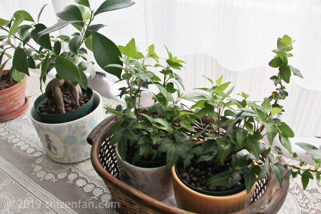 出窓にあるハイドロカルチャーの植物(ガジュマル、アイビー)、斜め上からのアングル