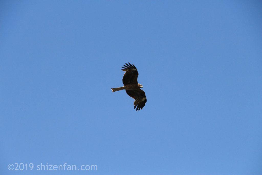青空に舞う鷹