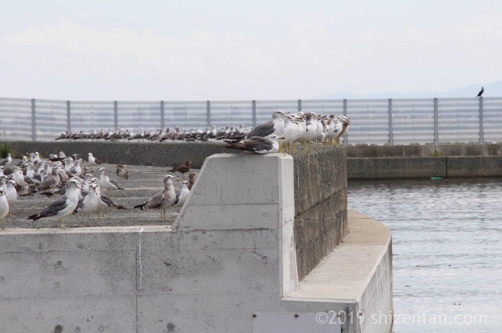 志賀島の漁港にある防波堤の上にとまる大勢のカモメ