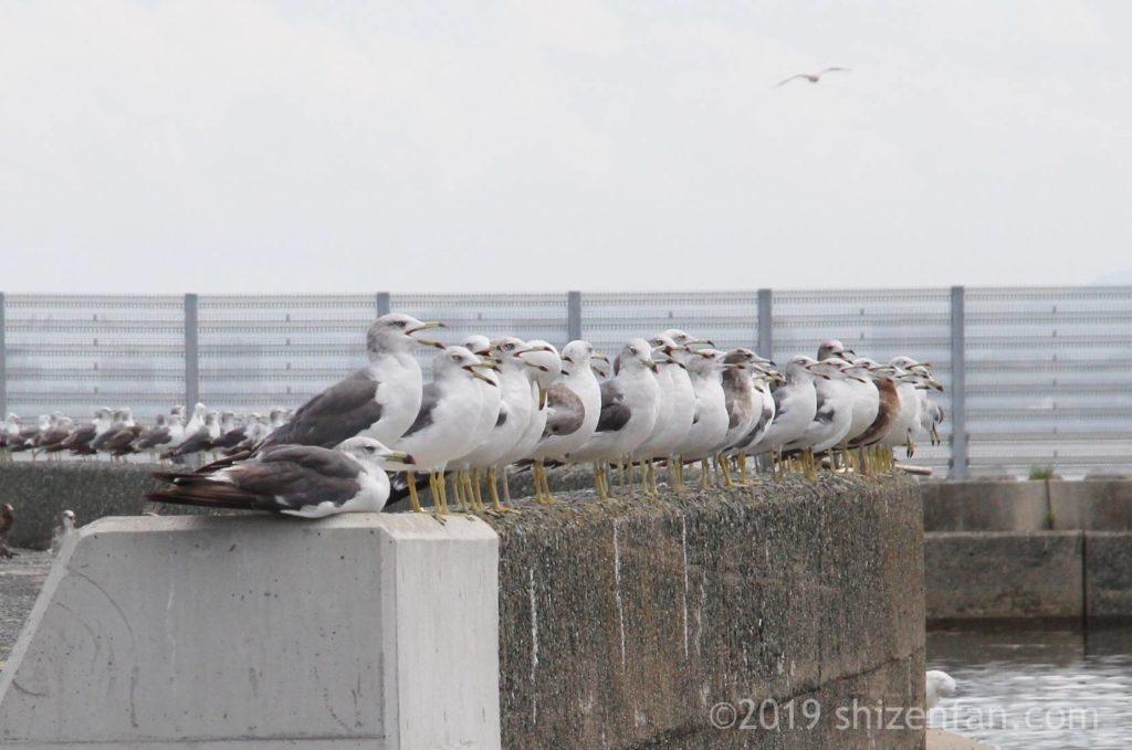志賀島の漁港にある防波堤に、口を開けてずらりと並ぶカモメたち