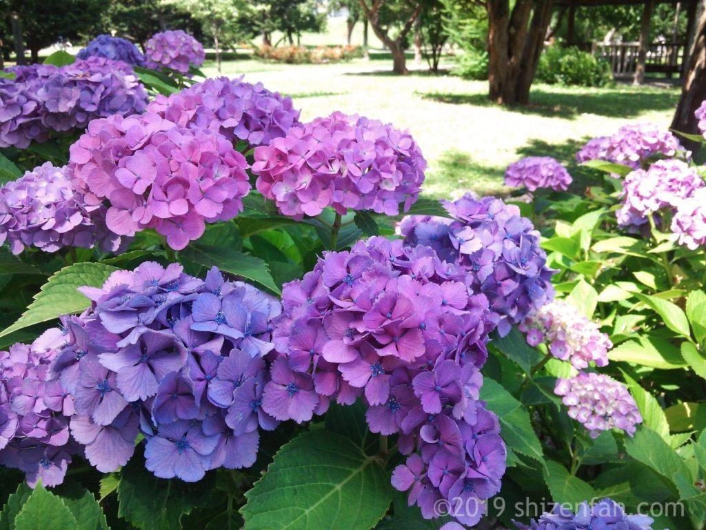 8月の札幌中島公園内に咲く紫陽花