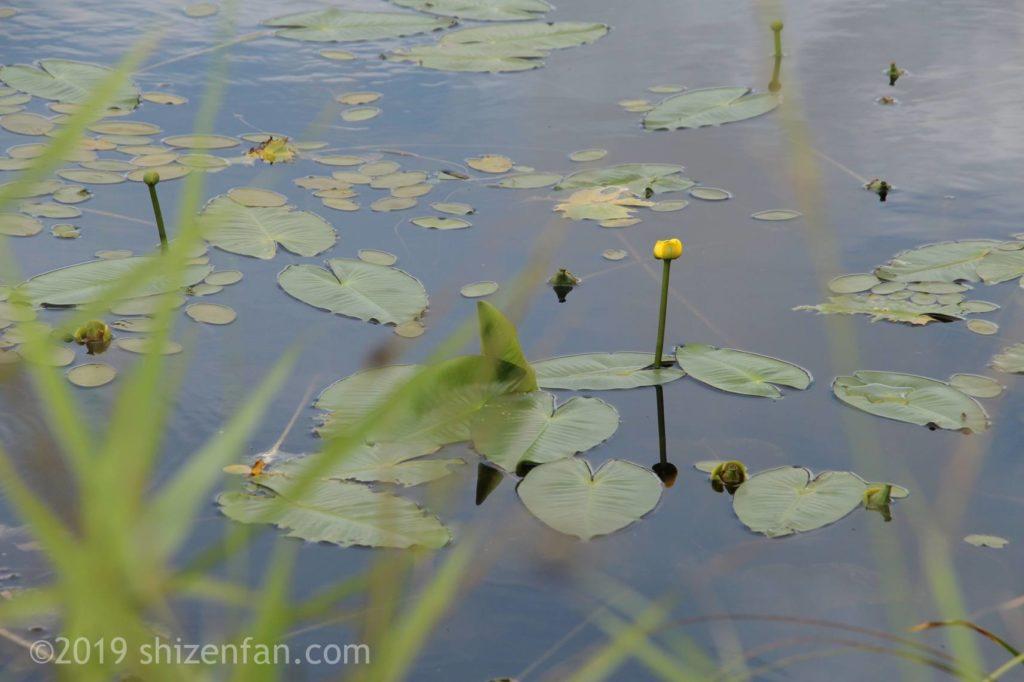 幌延ビジターセンター(下サロベツ原野園地)の長沼に咲くコウホネ