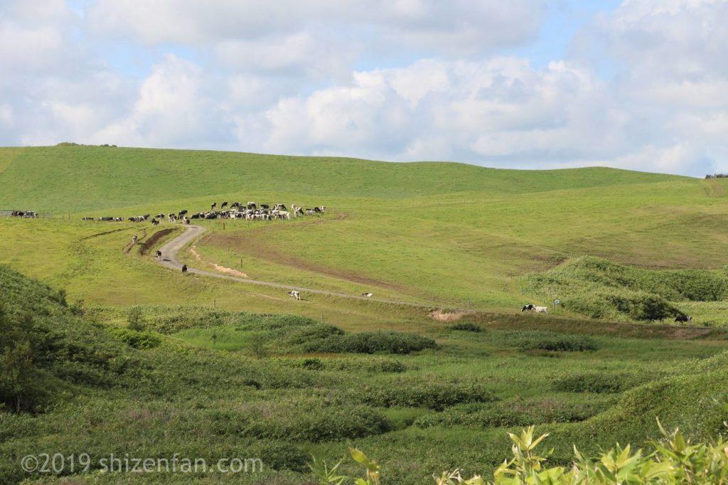 豊富町営大規模草地牧場の丘と牛の群れ