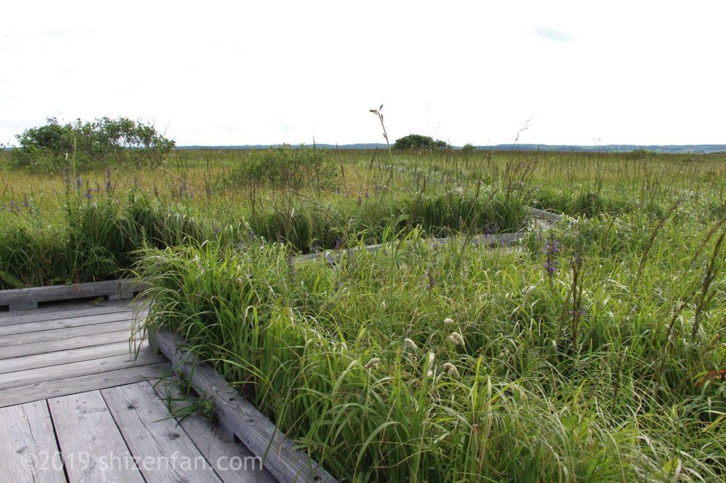 サロベツ湿原センターの木道と青々と茂る草