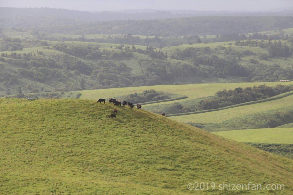 宗谷丘陵の丘の上に群れる牛たち