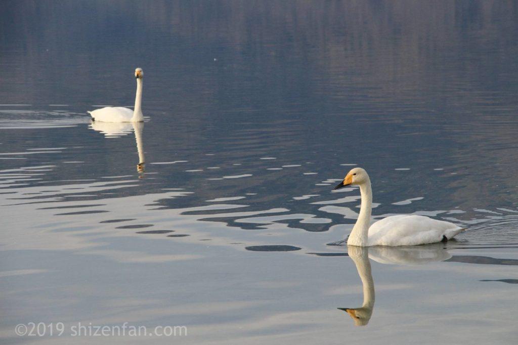 11月上旬の屈斜路湖、湖面を泳ぐ2羽の白鳥