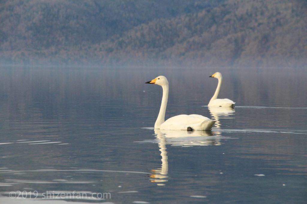 11月上旬の屈斜路湖、湖面を泳ぐ2羽の白鳥とけあらし