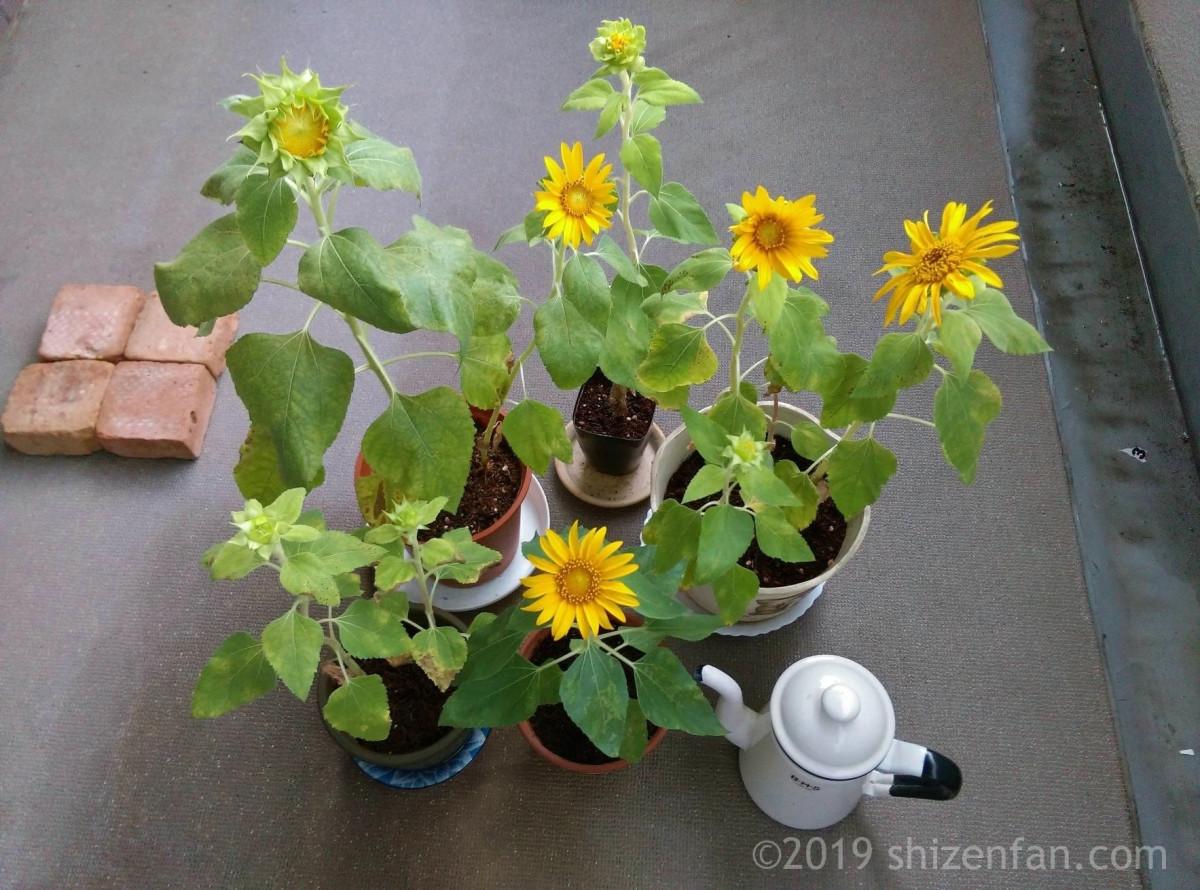 ベランダ栽培のミニ咲ひまわり