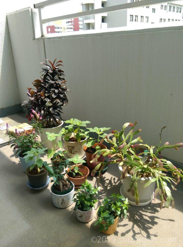 ベランダ栽培の植物たち