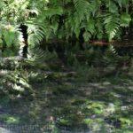 阿蘇白川水源の水面に映るシダ