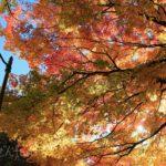 北大構内で光に透ける大きな木の紅葉と街灯