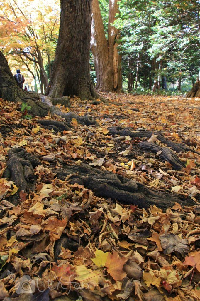 紅葉期の札幌円山公園、地面の落ち葉と木の根イメージ写真