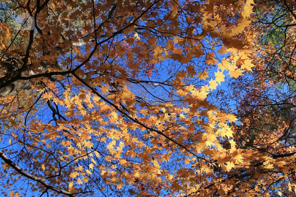 光に透けて輝く紅葉中のカエデ