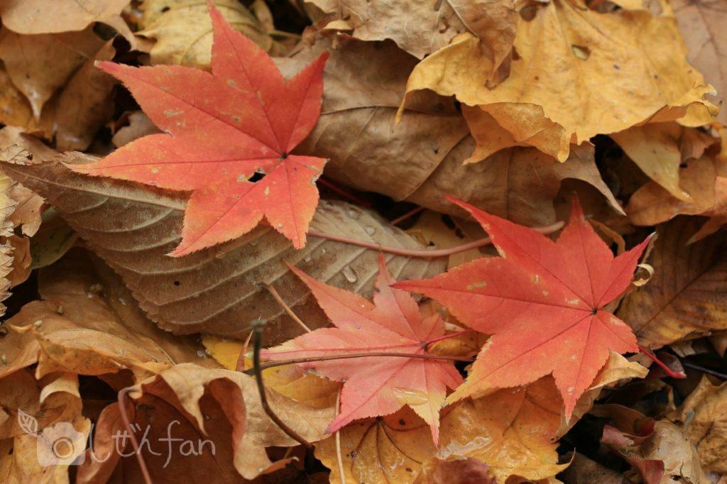 地面に落ちたモミジの葉のクローズアップ