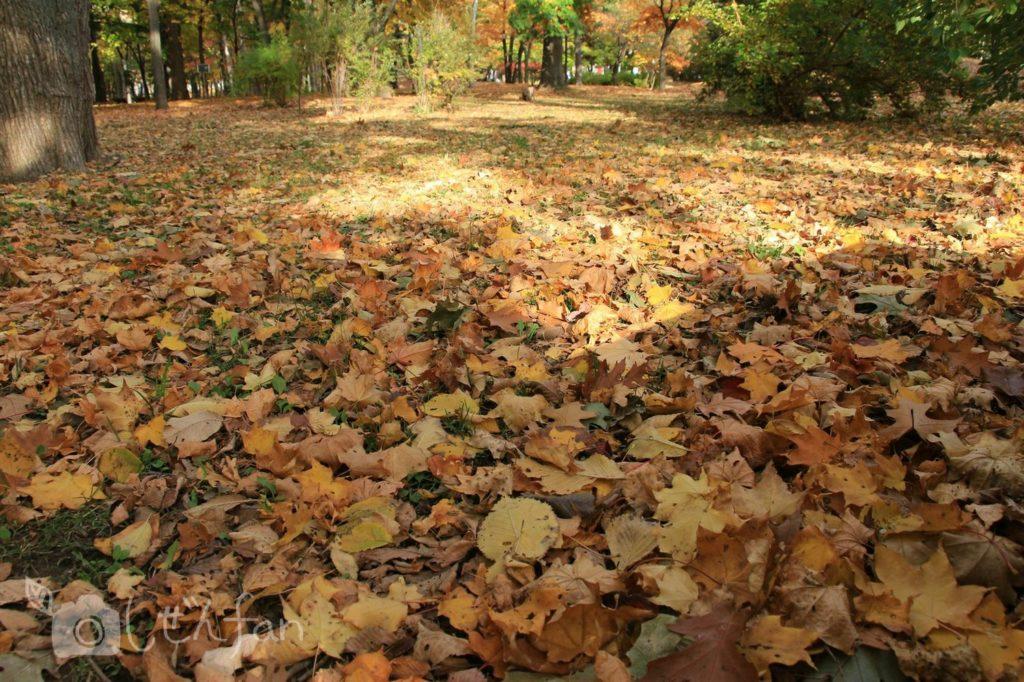 秋の札幌中島公園、地面に敷き詰められた落ち葉