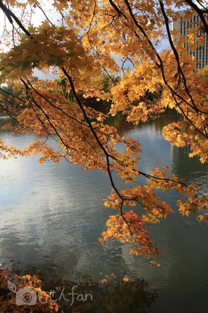 秋の札幌中島公園、池沿いで黄葉する木の枝