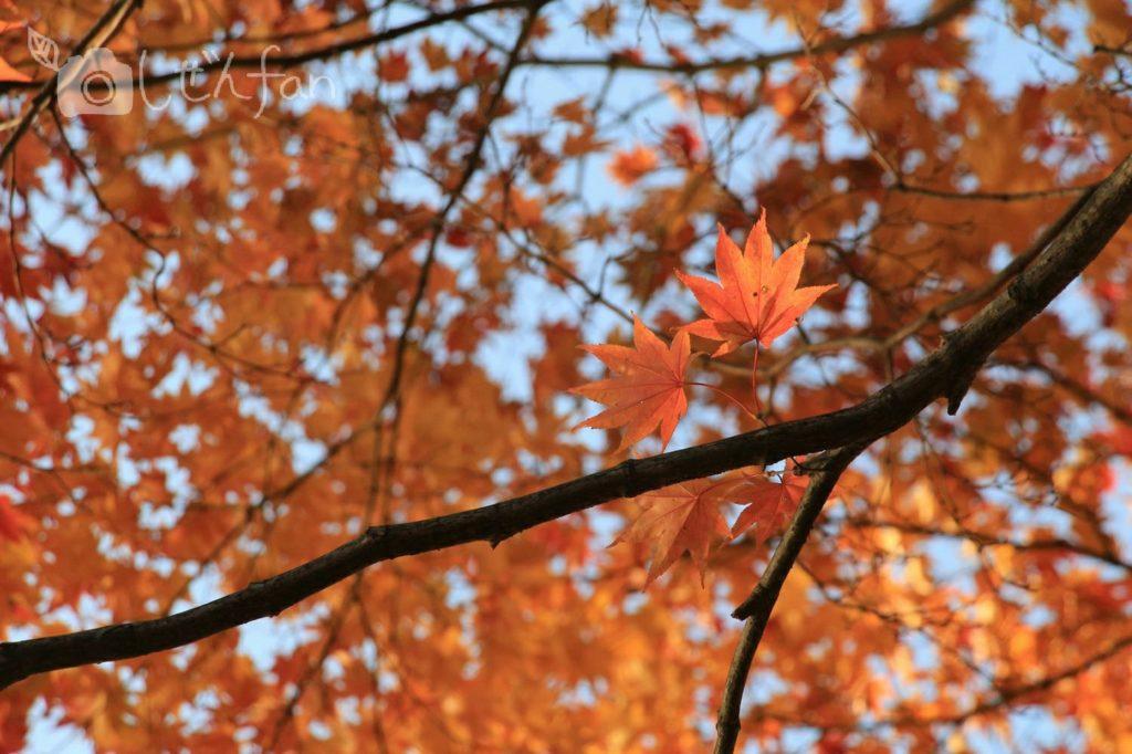 夕日を浴びる赤いカエデの葉