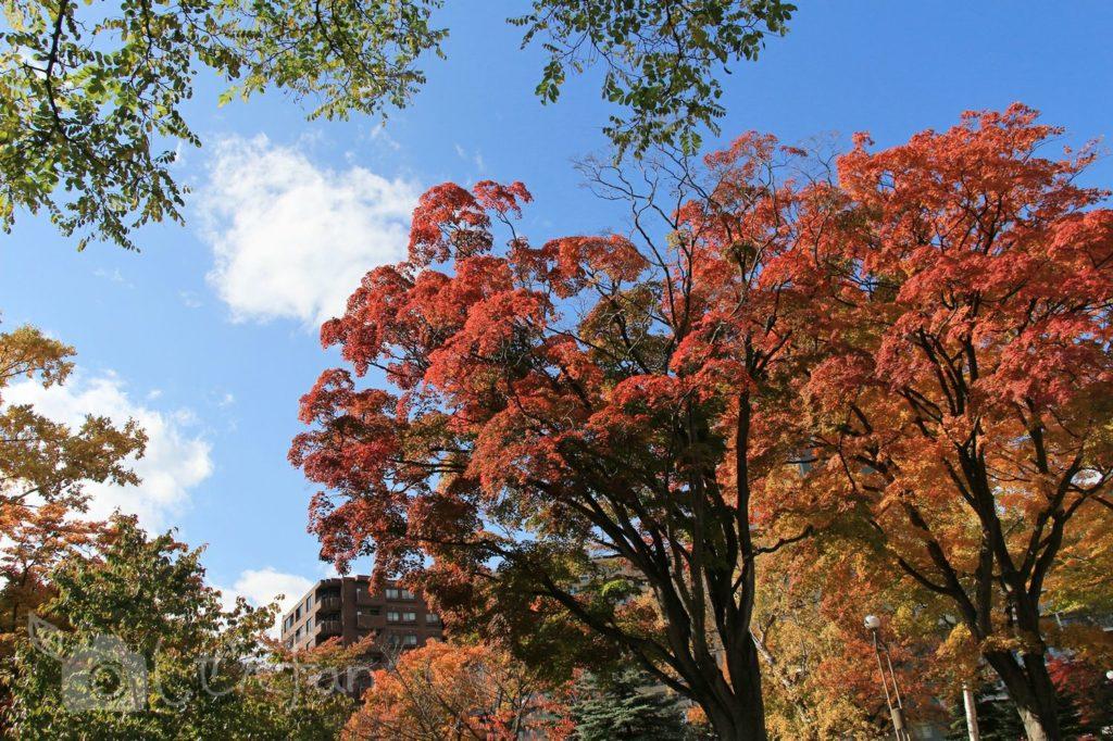 秋の札幌中島公園、燃えるように赤い木々と青空