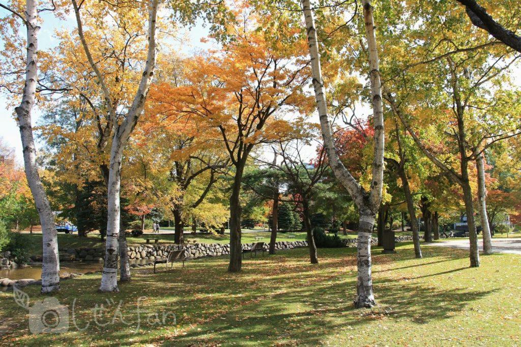 秋の札幌中島公園、白樺の木々