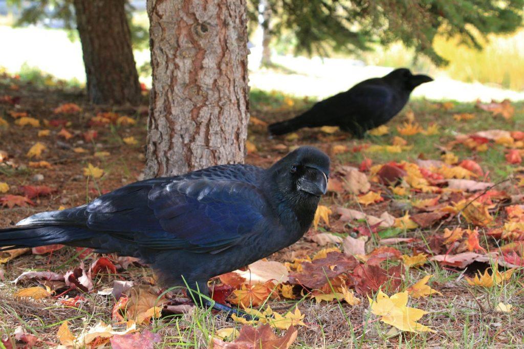 秋の札幌中島公園、首をかしげるカラス