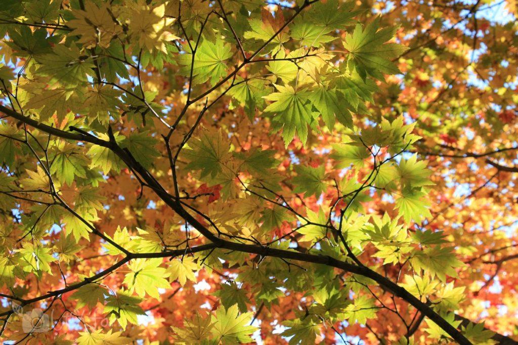 紅葉を始めるカエデ