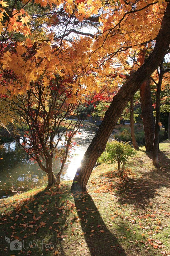 秋の札幌中島公園、午後の日差しを受ける紅葉した木
