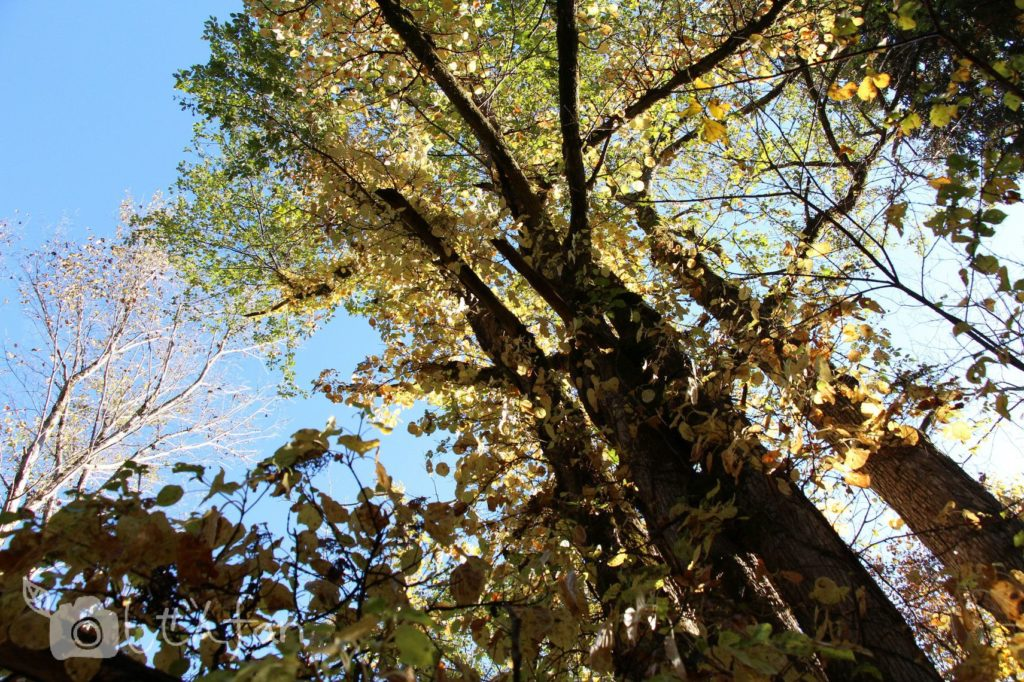 朝日を浴びる秋のハルニレの木