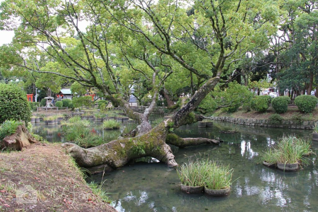 香椎宮菖蒲池の大木