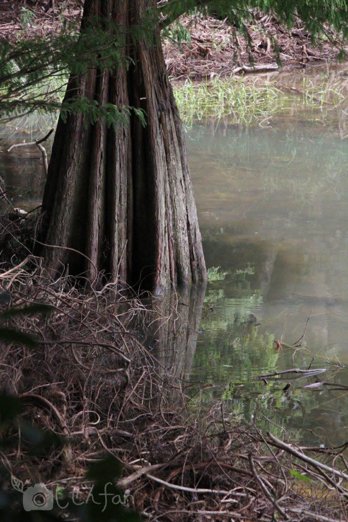 篠栗九大の森の水辺の森、木の幹と水面