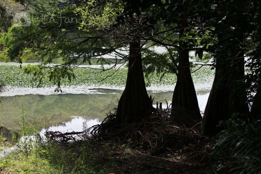 篠栗九大の森、ヌマスギのシルエット