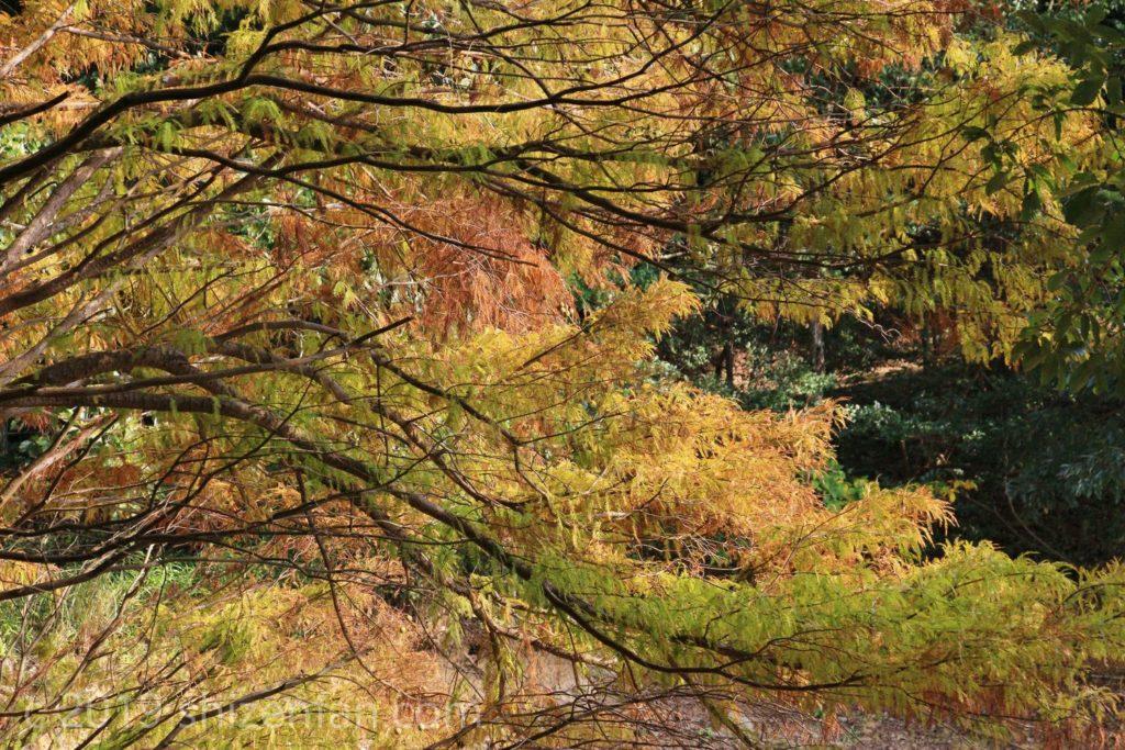 篠栗九大の森 ラクウショウ(ヌマスギ)の紅葉