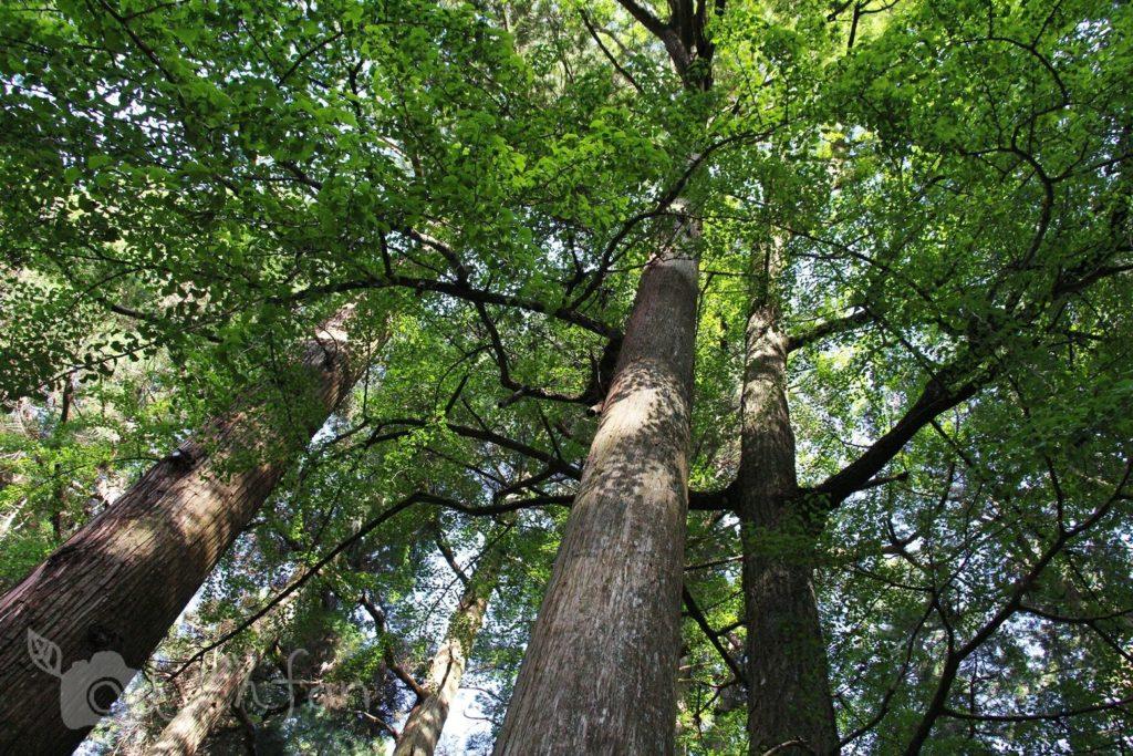高千穂の神社・木々のイメージ写真