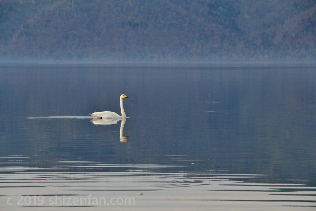 屈斜路湖と白鳥